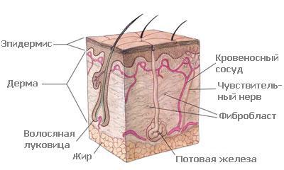 Строение кожи очень кратко