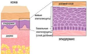 строение эпидермиса