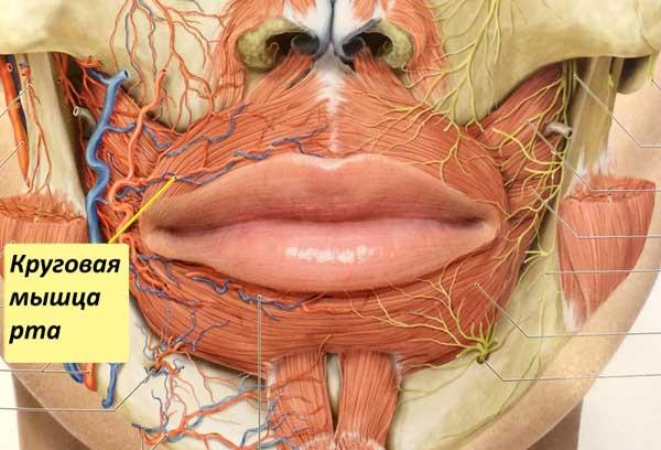 Подсечение мышцы верхней губы