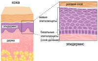 Схема строения эпидермиса