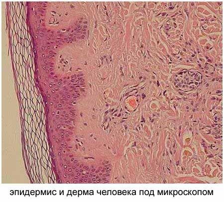 epidermis and derma
